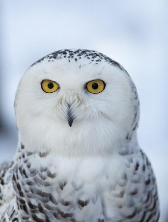 snowy owl: Snowy owl (Bubo scandiacus) Stock Photo
