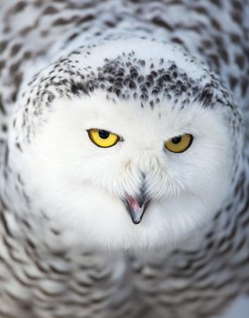 Snowy owl (Bubo scandiacus) photo