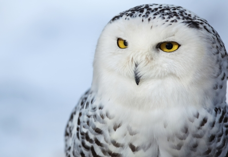 animal watching: Snowy owl (Bubo scandiacus) Stock Photo