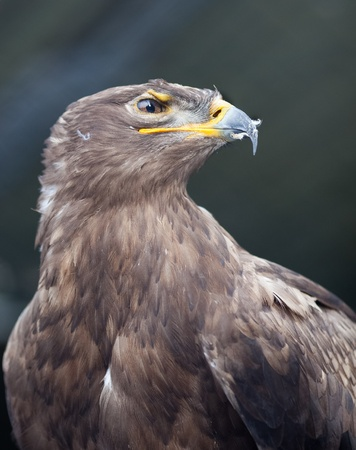 Steppe eagle - close-up portrait of this majestic bird of prey photo