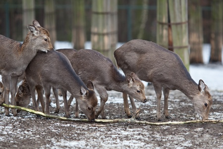 sika deer (lat. Cervus nippon) photo