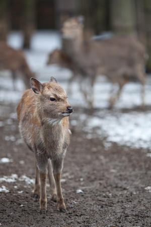 sika deer (lat. Cervus nippon) Stock Photo - 9795554