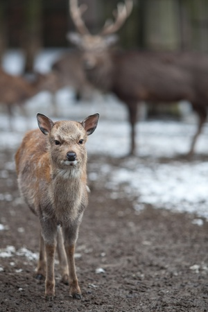 sika deer (lat. Cervus nippon) Stock Photo - 9795566