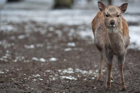 cervus: sika deer (lat. Cervus nippon)