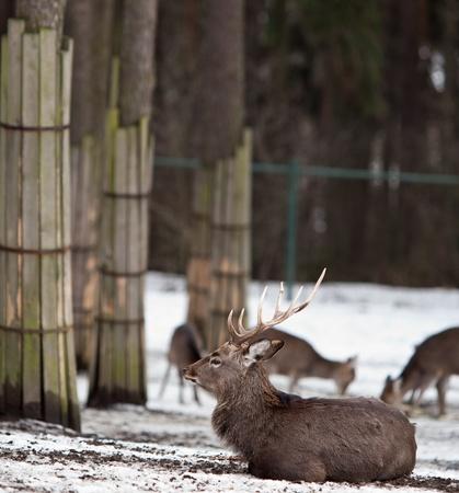 nippon: sika deer (lat. Cervus nippon)
