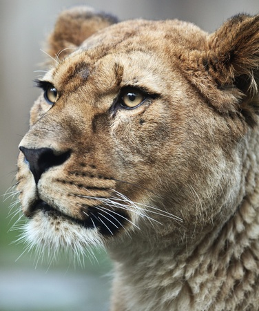 Close-up portrait of a majestic lioness (Panthera Leo) in nature photo