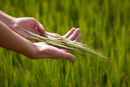 plenitude: Symbolic gesture suggesting fertility, plenitude, health. Woman hands holding unripe barley ears in a lovely barley field lit by summer sunshine