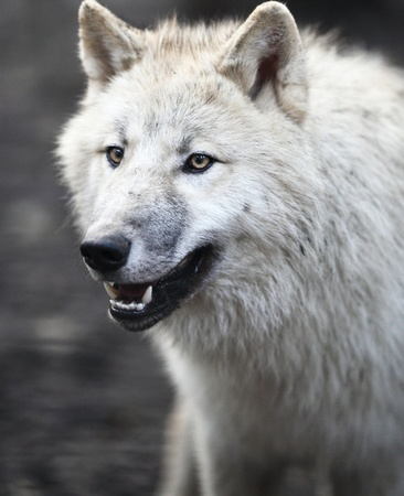 Arctic Wolf (Canis lupus arctos) aka Polar Wolf or White Wolf - Close-up portrait of this beautiful predator photo