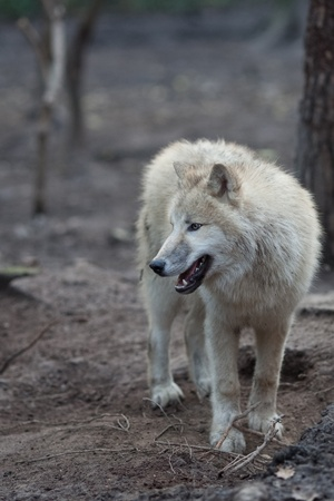 Close up view of a male wolf (Canis lupus) Stock Photo - 9800184