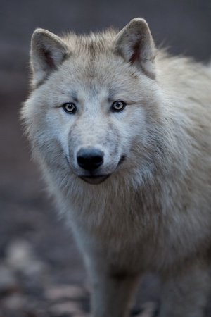 perceptive: Close up view of a male wolf (Canis lupus)