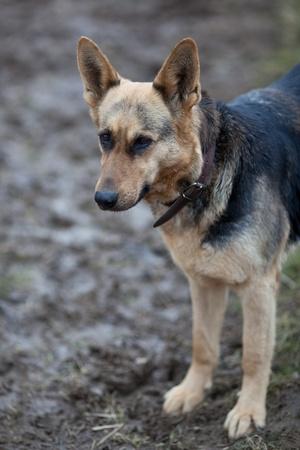 German shepherd Stock Photo - 9795556