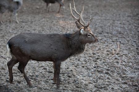 young sika deer (lat. Cervus nippon)  photo
