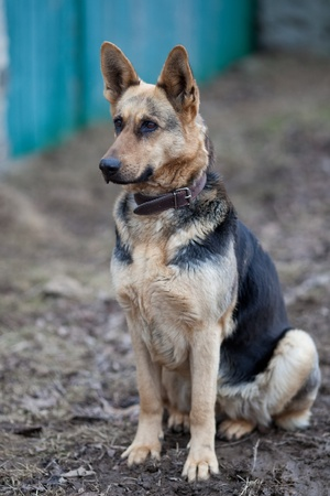 German shepherd Stock Photo - 9795592