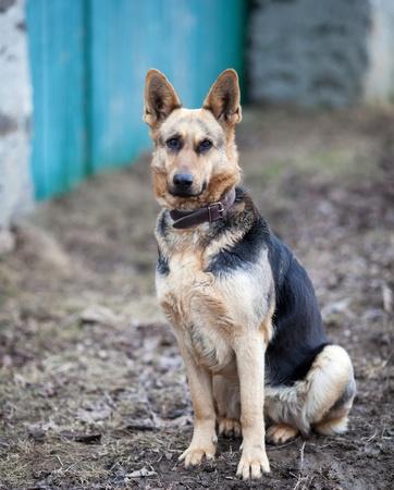 German shepherd photo
