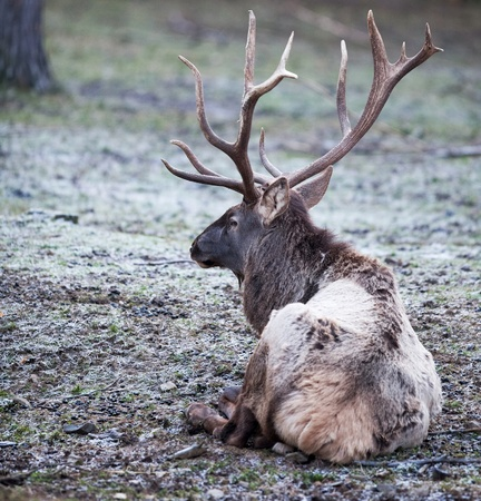 mighty deer buck outdoors lying on the ground  on a frosty winter day photo
