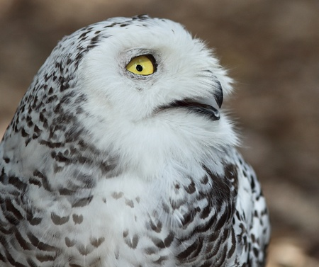 Close-up profile portrait of Snowy owl (Bubo scandiacus) smiling photo