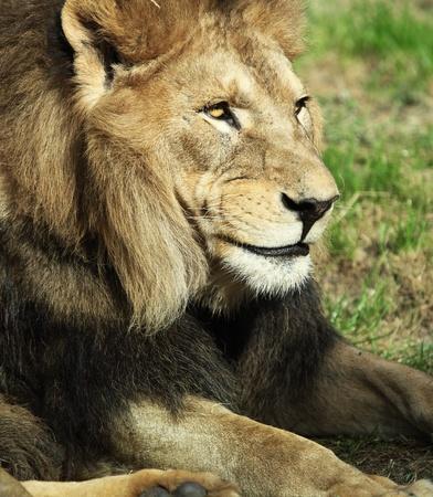 Majestic lion photo
