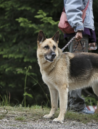 beautiful purebred german shepherd held on leash  before training photo