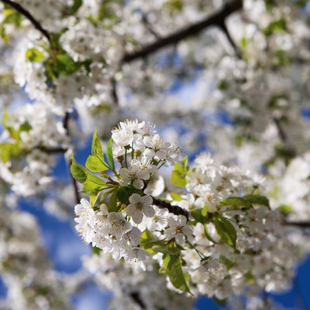 spring - blossoming tree against lovely blue sky photo
