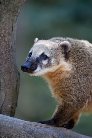 omnivore: Close-up portrait of a very cute White-nosed Coati (Nasua narica) aka Pizote or Antoon. Diurnal, omnivore mammal Stock Photo