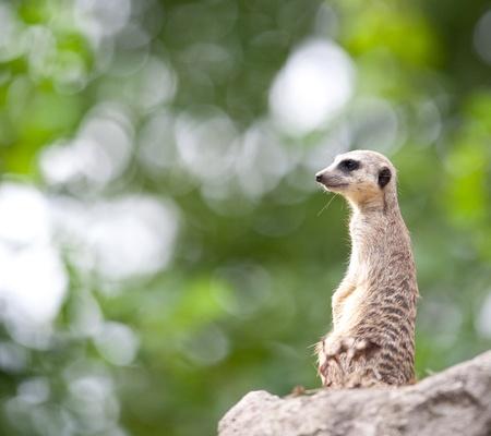 sentry: watchful meerkat standing guard Stock Photo