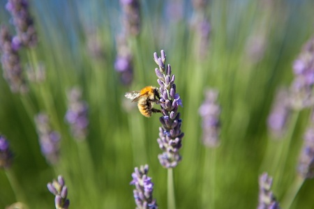 lavender - honey bee on lavender in Provence photo