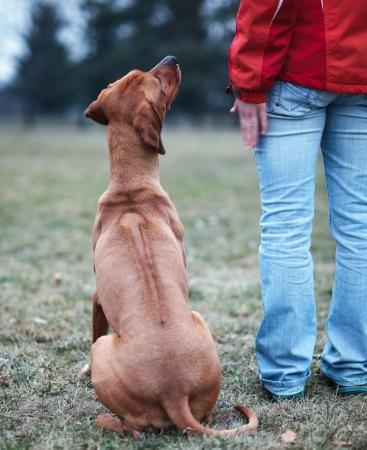 engedelmesség: Master and her obedient (rhodesian ridgeback) dog