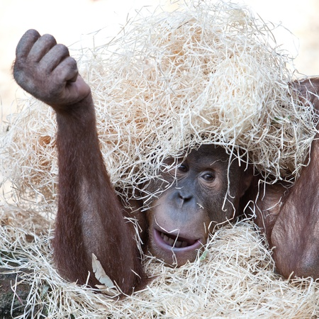 cute orangutan hiding under hay photo