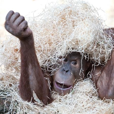 cute orangutan hiding under hay photo