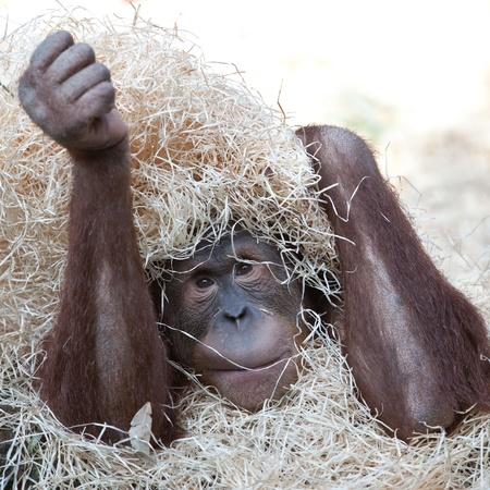 hominid: carino Oranghi nascosto sotto il fieno Archivio Fotografico