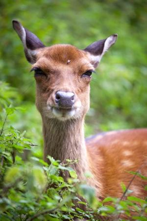 sika deer (lat. Cervus nippon) doe Stock Photo - 9915555