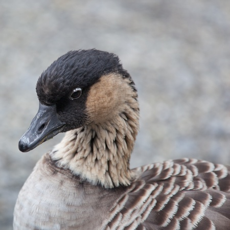 Hawaiian Goose (Branta sandvicensis) Stock Photo - 9915458