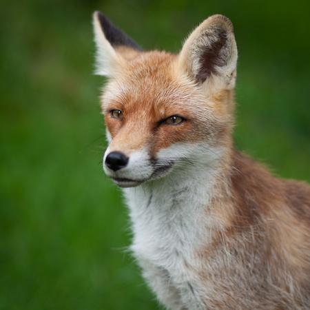 volpe rossa: Volpe rossa (Vulpes vulpes)