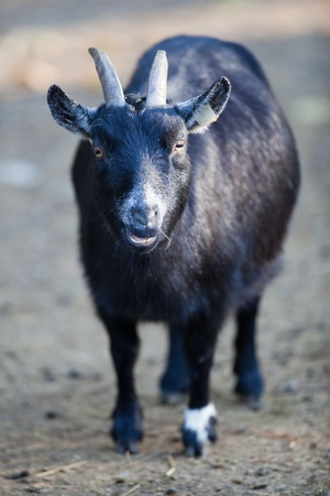 goat Stock Photo - 10520597