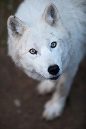 Arctic Wolf (Canis lupus arctos) aka Polar Wolf or White Wolf - Close-up portrait of this beautiful predator photo