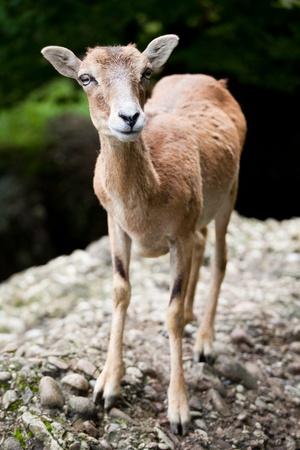 capra: West Caucasian tur (Capra caucasica)