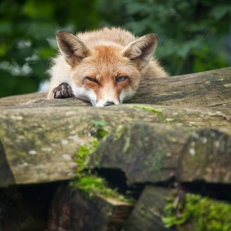 zorro: Zorro rojo (Vulpes vulpes)