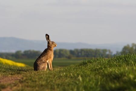 cute rabbit: Brown hare (lepus europaeus) sitting on a green balk Stock Photo
