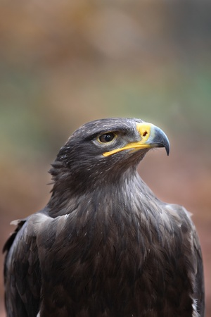 Steppe eagle - close-up of the majestic bird of prey  photo