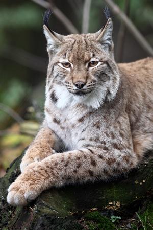 studio zoo: Close-up portrait of resting Eurasian Lynx (Lynx lynx)