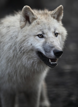 terror: Arctic Wolf (Canis lupus arctos) aka Polar Wolf or White Wolf - close-up of a beautiful predator