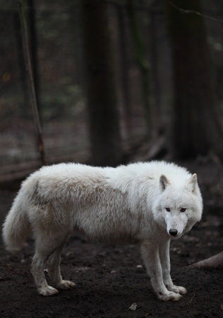 Arctic Wolf (Canis lupus arctos) aka Polar Wolf or White Wolf - close-up of a beautiful predator Stock Photo - 9936288