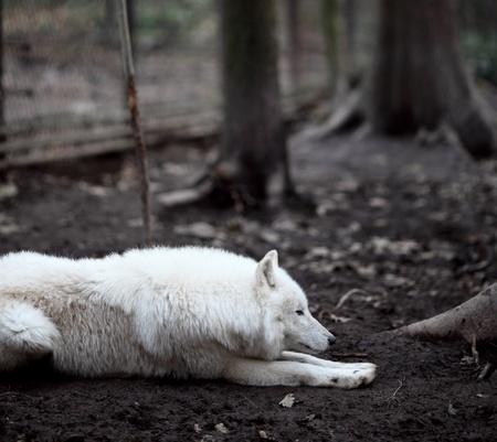 arctos: Lupo artico (Canis lupus arctos) aka lupo polare o lupo bianco - close-up di un predatore bello Archivio Fotografico