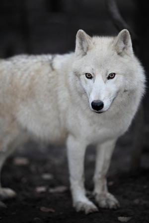 lupus: Arctic Wolf (Canis lupus arctos) aka Polar Wolf or White Wolf - close-up of a beautiful predator