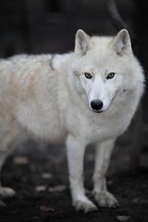 Arctic Wolf (Canis lupus arctos) aka Polar Wolf or White Wolf - close-up of a beautiful predator Stock Photo - 9936386