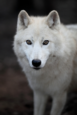 gray wolf: Arctic Wolf (Canis lupus arctos) aka Polar Wolf or White Wolf - close-up of a beautiful predator