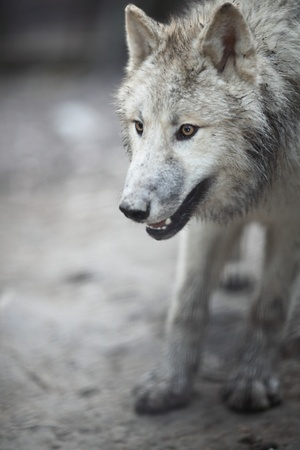 Arctic Wolf (Canis lupus arctos) aka Polar Wolf or White Wolf - close-up of a beautiful predator photo