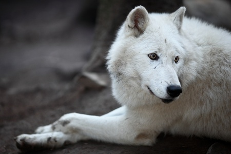 canis lupus: Arctic Wolf (Canis lupus arctos) aka Polar Wolf or White Wolf - Close-up portrait of this beautiful predator