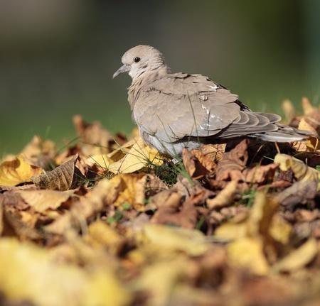 Eurasian Collared Dove also known as turtledove (Streptopelia decaocto)  photo