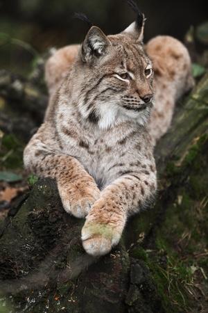 lince: Primer plano de un lince eurasiático (Lynx lynx) descansando sobre un tronco de árbol Foto de archivo
